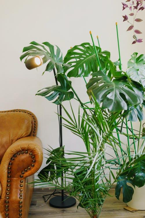 Palmetræ i et hjem