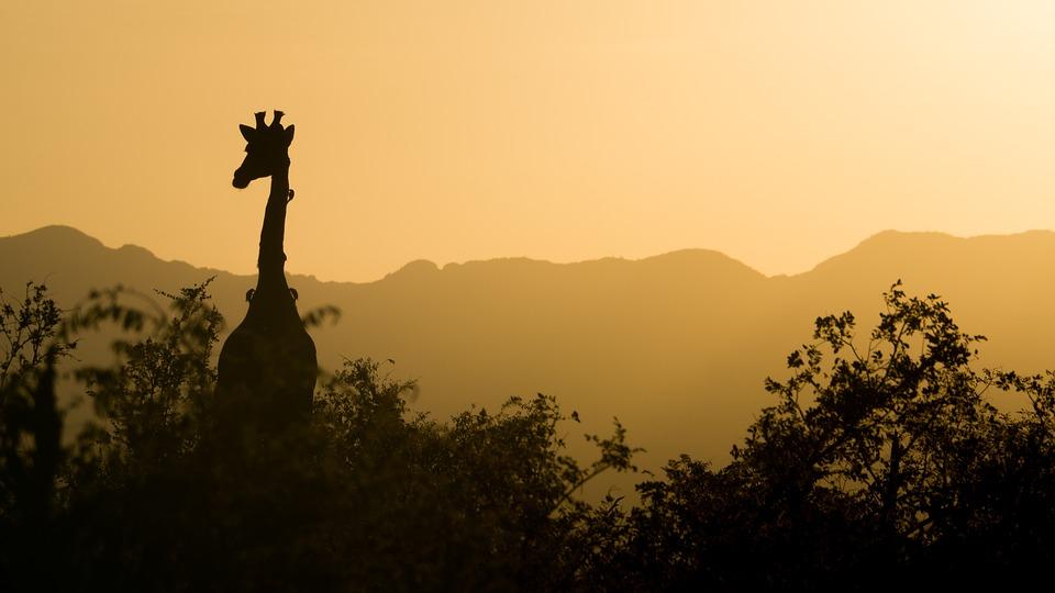 Giraf i solnedgang